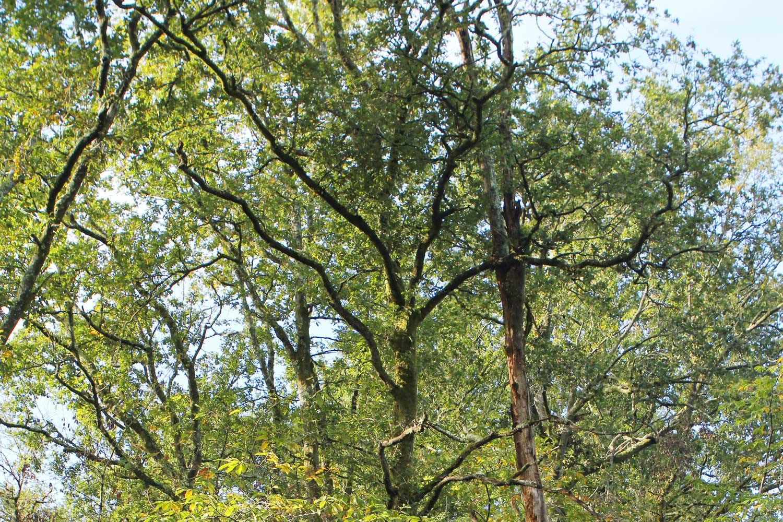El robledal de Artzubi, santuario forestal